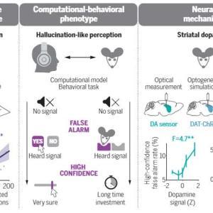 線条体のドパミンバランスは幻覚を引き起こす……ということをマウスで検証