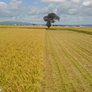 稲刈り始め
