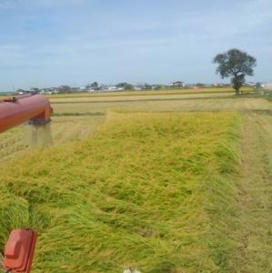 倒伏した稲は最後に刈り取る