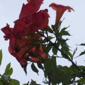 梅雨で元気な植物、野菜たち・・・