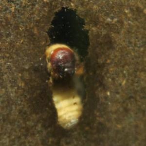 カブトムシ'19 幼虫~サナギ