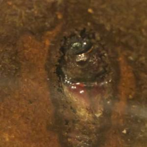 カブトムシ'19 サナギ~成虫