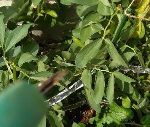 初めてのそら豆栽培