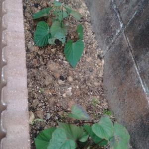 庭に畑を作る、粘土質改善