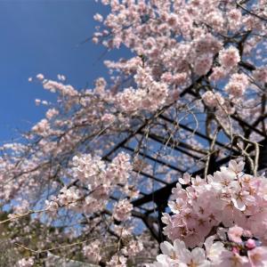 【2021年 桜開花情報】奈良県にある長谷寺へ行ってきた!