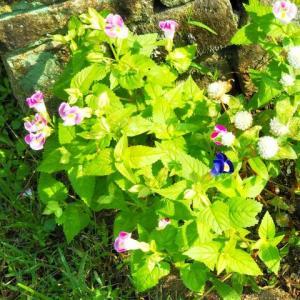 庭の花壇、植えた以上に咲いたお花がありました♪