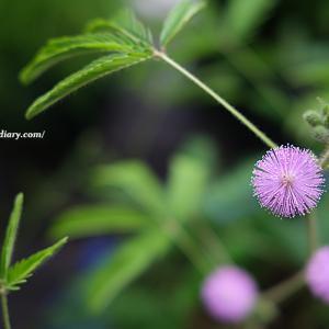 オジギソウの花と朝顔と。
