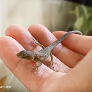 我が家の生き物その1 カナヘビ(赤ちゃん編)
