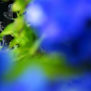 居留地の紫陽花