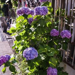 港町の紫陽花