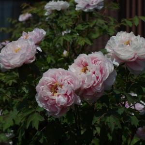 牡丹の花・・・箭弓稲荷神社ぼたん園