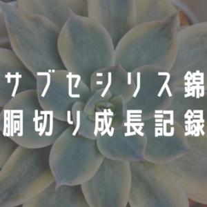【サブセシリス錦】胴切りから子株独立までの成長記録