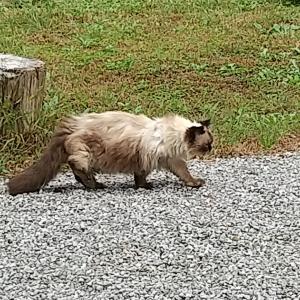 散歩している猫事情