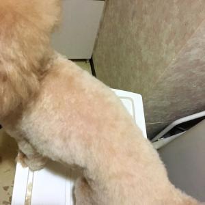 トリマーによる、自宅での愛犬のセルフカットを大公開♪