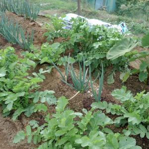 家庭菜園 初物大根