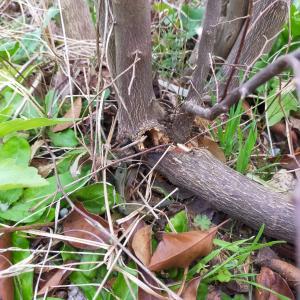 4年目のエゴノキに異変。穴と木屑、駆除決行。