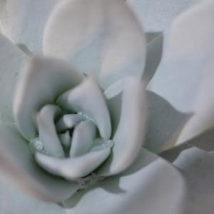多肉で最も白く美しい/ダドレア・ブリトニー(仙女盃)