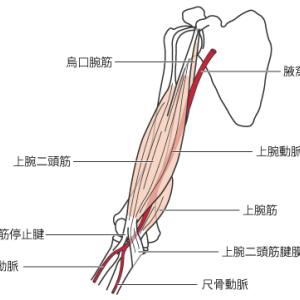 上腕動脈の触知