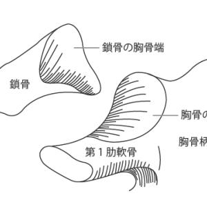 胸鎖関節:基本情報