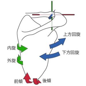 肩鎖関節:基本情報