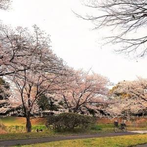 桜が満開 ♪