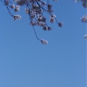 ★桜 サクラ さくら★
