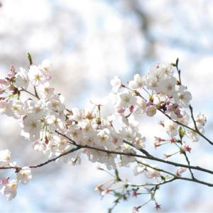 ★見沼たんぼの桜🌸★