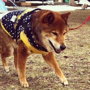 シニア犬の排泄ケア/柴犬15歳のトイレ事情