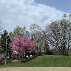 桜満開/懐かしい球場からの声。