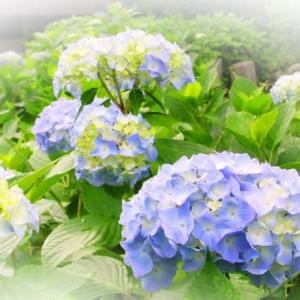 紫陽花や平安祈るお大仏