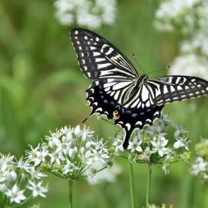 夏の蝶はらう手にひとひらの風