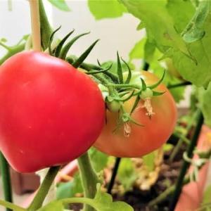 今日話す相手は誰ぞトマトかな