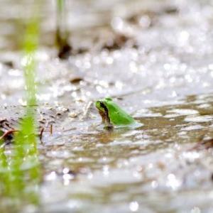 重たかろ泥にまみれし雨蛙