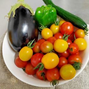 プチトマトの収穫と使い道