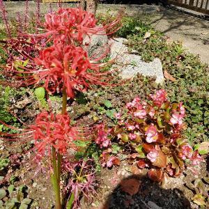 墓参りの延期とお彼岸を知らせる花たち
