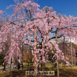 【3/29、31】2大名庭園しだれ桜鑑賞&ゆったり桜めぐりバスツアー