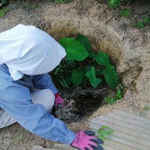 生姜の保存法