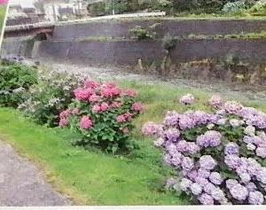 長崎市広報に八郎川の紫陽花が載ってました。