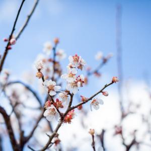 春の訪れ – 庭の梅が満開に