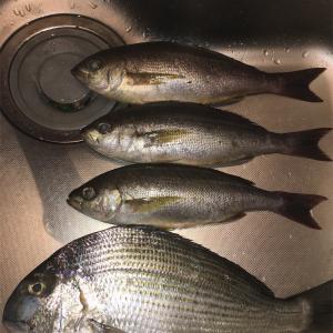 魚捌き 白鯛といさき