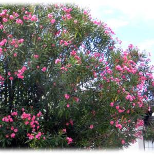 真夏の花も…(^^♪ちょっと見方を変えてみると一服の清涼剤になる「キョウチクトウ(夾竹桃)」