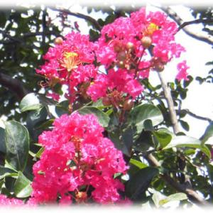 夏を代表する花、でも秋まで咲き続ける(^^♪約100日間、ピンクの花を咲かせる「サルスベリ(百日紅)」