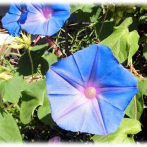 夏から秋に咲く花、でもそろそろ…(^^♪終わりに近づいている秋の「アサガオ(朝顔)」