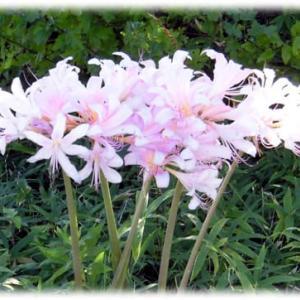 夏に咲く花、でも…(^^♪青みのある淡い紅紫色の薄暮のような花色は秋を感じさせる「ナツズイセン(夏水仙)」