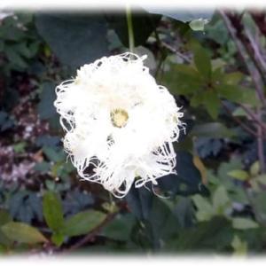 夏に咲く花(^^♪白色で花弁の先は糸のように、細長く無数に切れ込んでいる「カラスウリ」