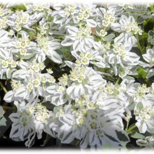 猛暑を吹き飛ばす花(^^♪初雪が積もっているようで、猛暑の夏の花壇で、涼しさを感じさせてくれる「ハツユキソウ(初雪草)」