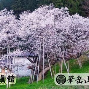 臥龍桜2021