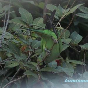 ワカケホンセイインコ (野生) 2 裏側と色々なポーズ