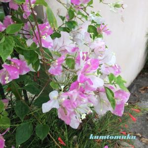 ブーゲンビリア 2色咲き 南国 2