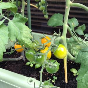 家庭菜園の今